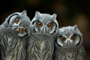 Three baby scops owls